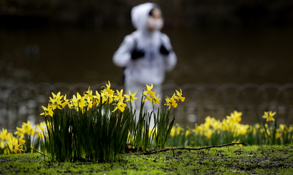 A pedestrian walks past blooming daffodils in a park in London on Friday.
