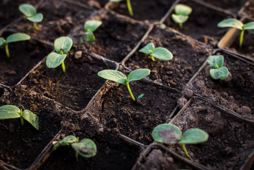 Cucumber seedlings. Cucumber seeds, if stored properly, can be viable for up to ten years.