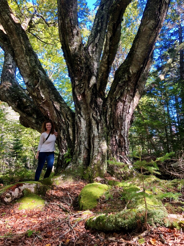 Jan Santerre with former state and national champion yellow birch in Deer Isle.