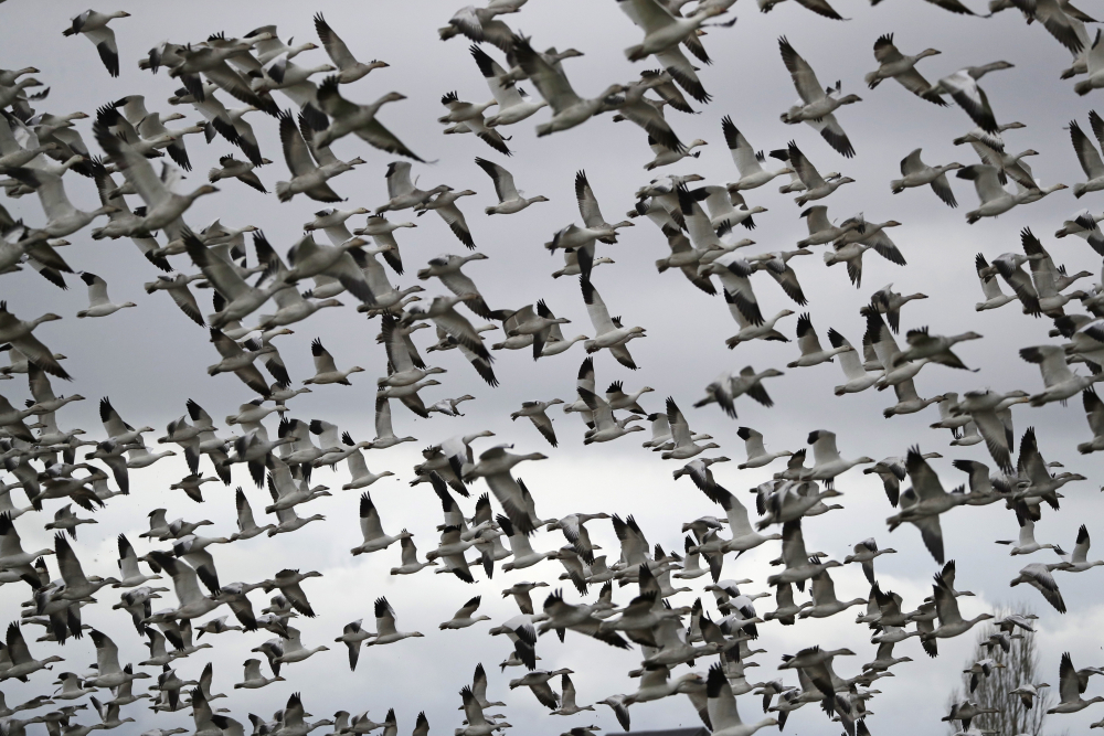 Thousands of snow geese take flight over a farm field at their winter grounds, in the Skagit Valley near Conway, Wash., in 2019. The Biden administration on Monday reversed a policy imposed under former President  Trump that drastically weakened the government's power to enforce a century-old law that protects most U.S. bird species.