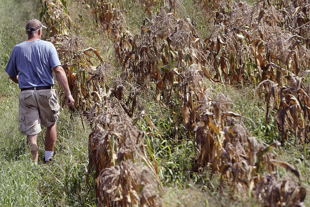 Jim Geoghegan, owner of Sunshine Farm in Sherborn, Mass., walks through a withered drought-stricken corn field on Aug. 11, 2016.
