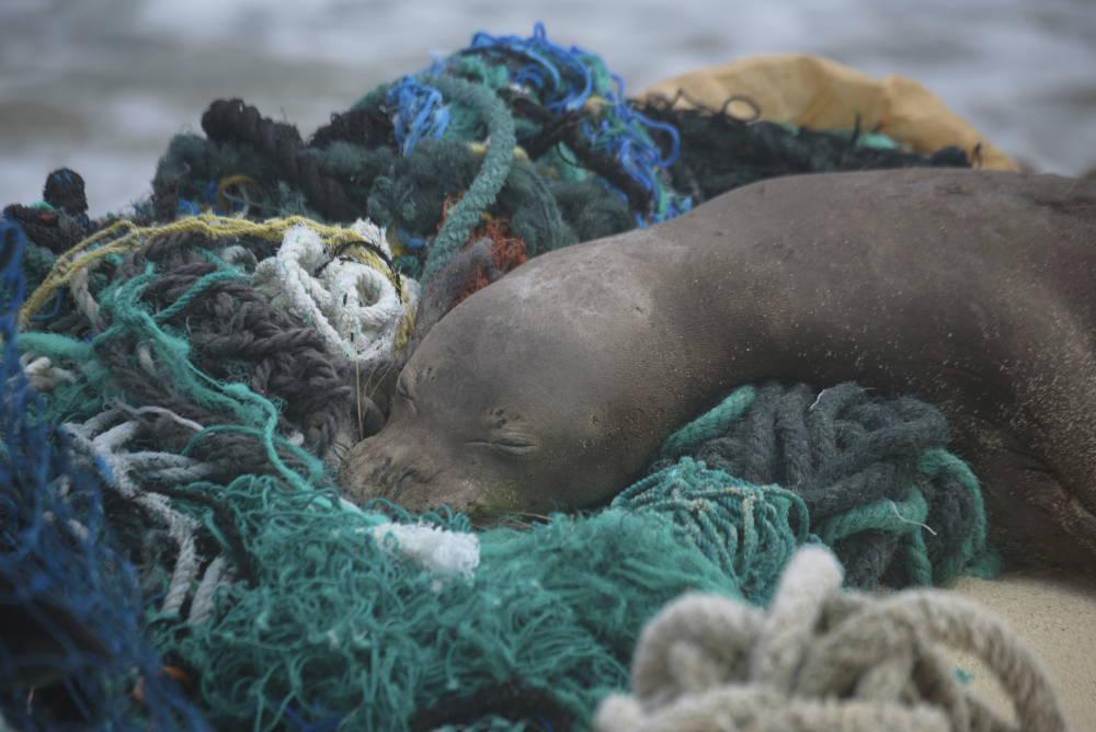 A juvenile Hawaiian monk seal rests on top of a pile of ghost nets on the windward shores of Laysan Island in the Northwestern Hawaiian Islands.