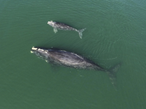 Right_Whales_83231