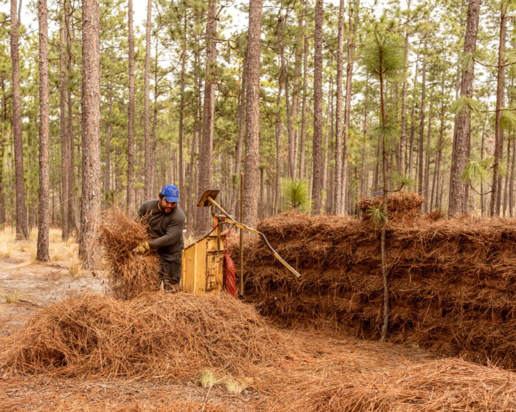 A worker loads pine needles into a baler at Mike Wilson's farm in West End, N.C.