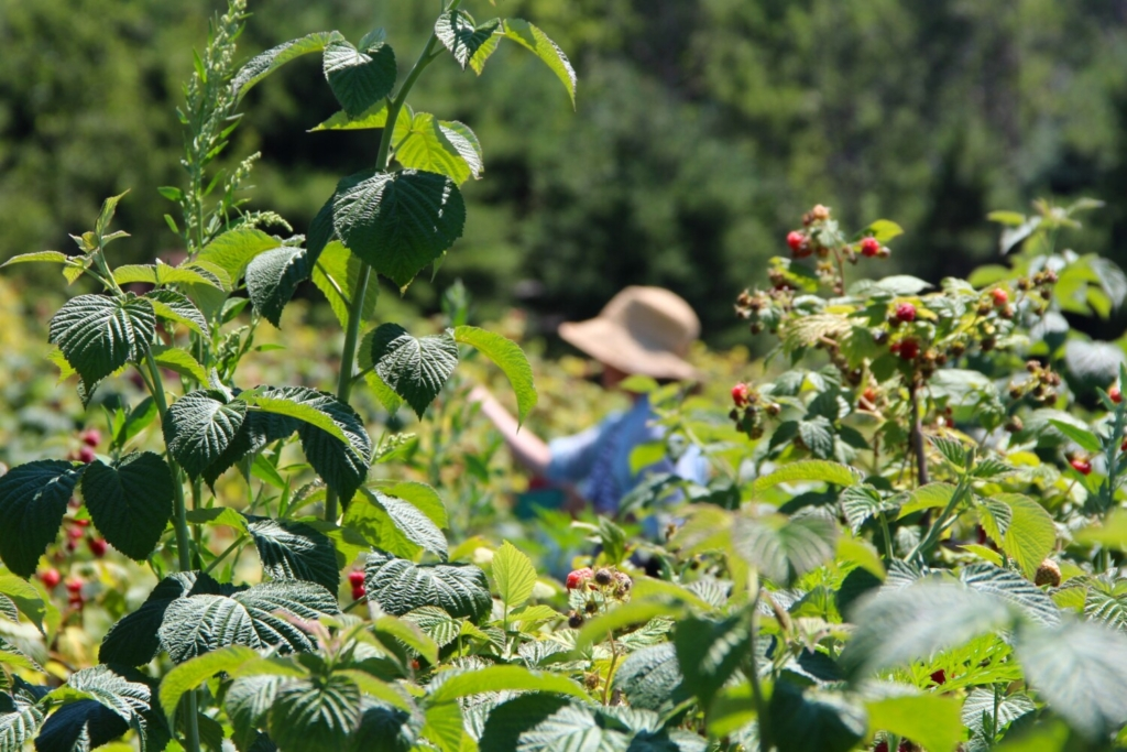 Raspberry picking -- the reward for growing them.