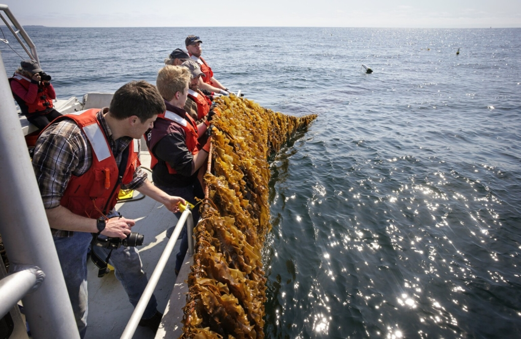 Researchers pull up a rope laden with kelp on Thursday at a kelp farm in Saco Bay that the University of New England is using to study how to best grow kelp in open ocean conditions.