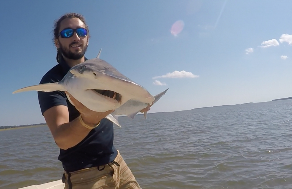 Colby Griffiths took this photo in 2015 on the North Edisto River in South Carolina. It shows scientist Bryan Keller holding a bonnethead shark. Keller is among a group of scientists that found sharks use the Earth's magnetic field as a sort of natural GPS when they navigate journeys that take them thousands of miles across the world's oceans.