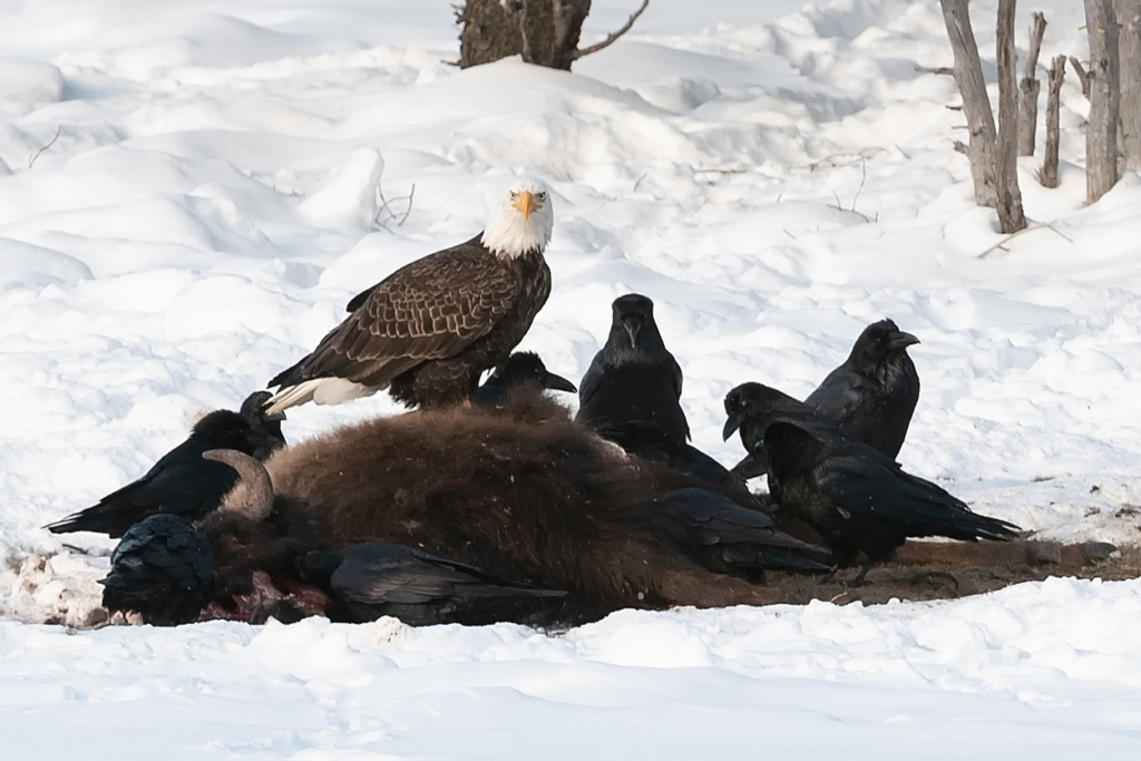 Community News – York County Audubon to host 'Ravens, Wolves and People'