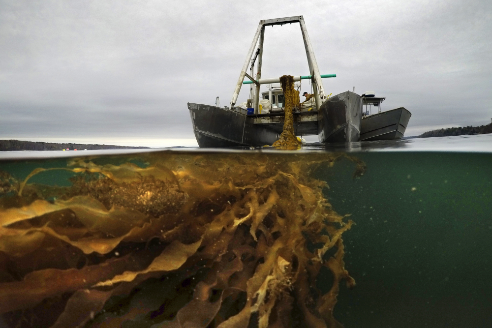 A line of seaweed is hauled aboard a barge for harvesting Thursday off Cumberland. Maine's seaweed farmers are in the midst of a spring harvest that is almost certain to break state records(. AP Photo/Robert F. Bukaty)