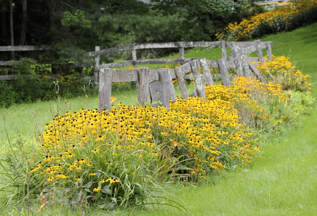 Give black-eyed Susans, like these, a heard start for next year by planting the seed this summer.