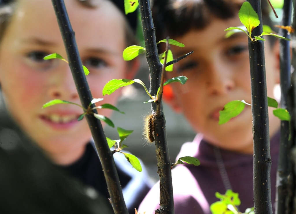 A browntail moth caterpillar is shown June 2 between Jameson Dow, left, and classmate Charlie Ferris, both 10, in a tree at Ferris's home in Waterville. Dow discovered that the caterpillars had invaded a tree in the front yard of the Ferris home. The were able to spot four of the caterpillars on low hanging limbs. The caterpillar, which has two distinctive reddish dots, has poisonous hairs that can cause a rash if exposed to skin.