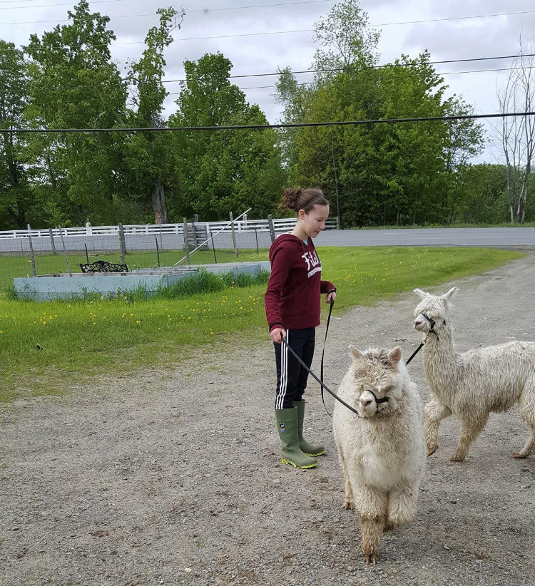 A teenage girl in a sweatshirt, sweatpants and rainboots handles two alpacas on a leash. The alpacas are white but dirty, especially around the ankles. Hair covers the alpacas eyes. They are standing on a gravel road. In the background is a grassy area and large water containers for the alpacas.