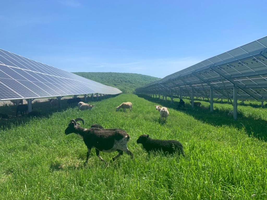 Sheep fatten up and keep the grass down at Maine's first solar grazing project, on Route 2 in Skowhegan. The sheep, from Crescent Run Farm in Jefferson, are working for South Portland-based ReVision Energy, which developed the 10,500-panel project to supply power to five towns. It's an example of how solar developers are trying to forge beneficial arrangements with farmers when they site projects on farmland, a trend called dual-use of agrivoltaics.