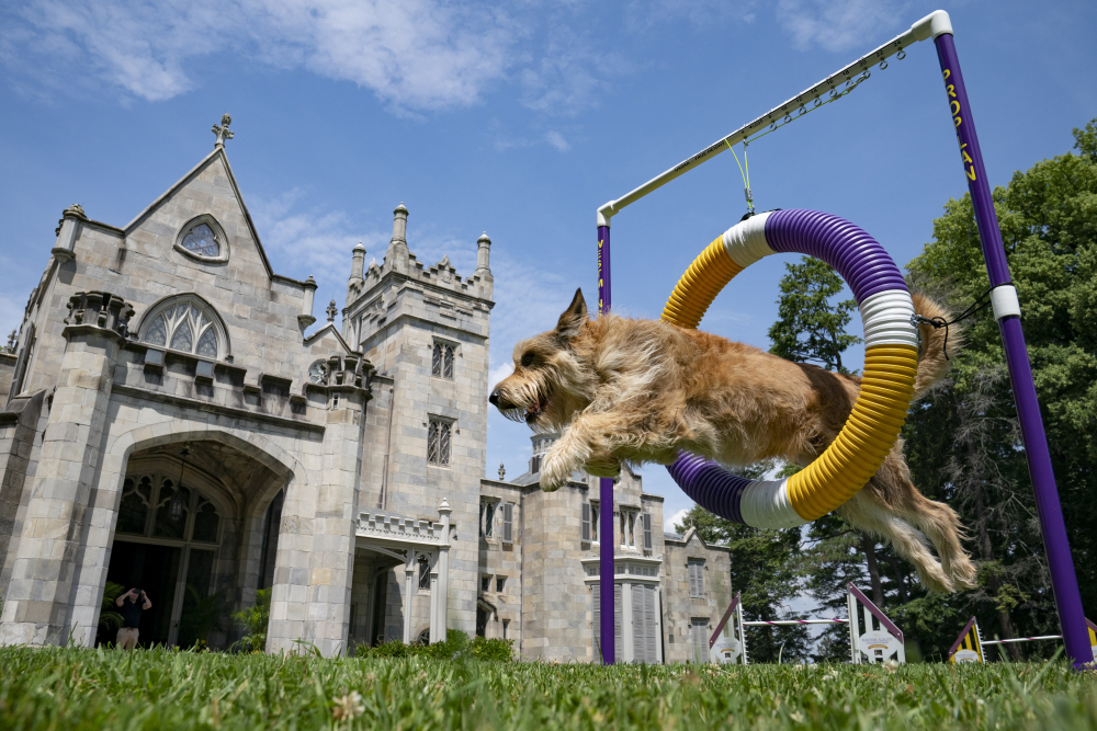 Chet, a berger picard, performs a jump in an agility obstacle at the Lyndhurst Estate where the 145th Annual Westminster Kennel Club Dog Show will be held outdoors.