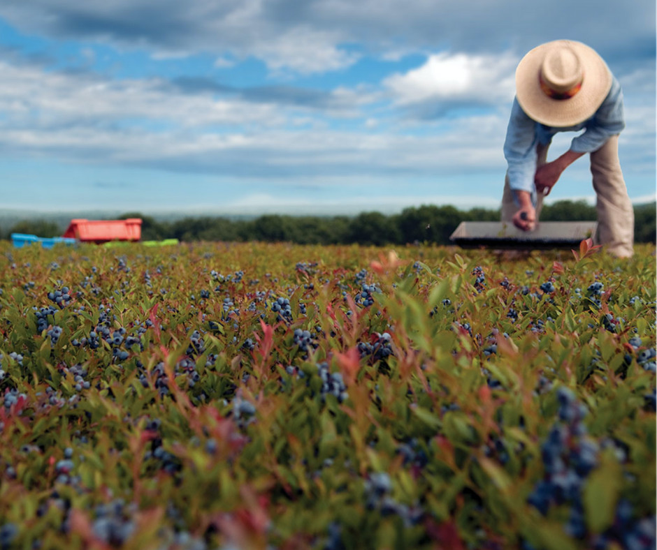 Blueberry farms around Maine will welcome visitors on Maine Wild Blueberry Weekend Saturday and Sunday.