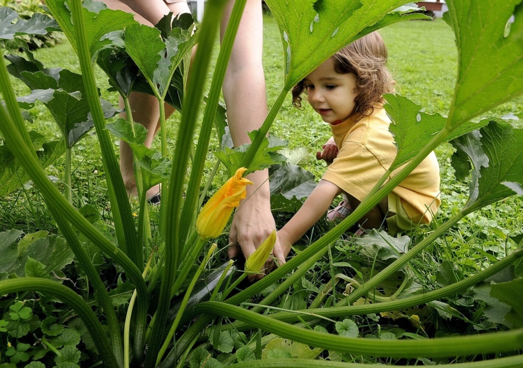 Given their height, toddlers may be able to spot ready-to-harvest zucchini lurking beneath the plant's giant leaves better than the grown-ups.