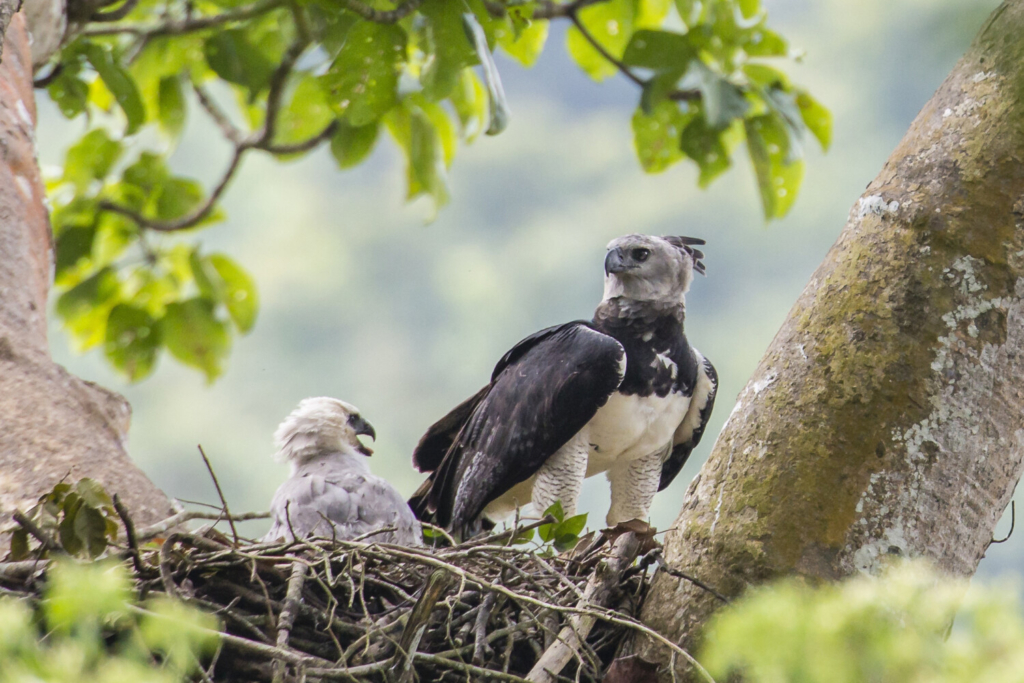 A female harpy eagle and its young are shown in a nest in Darién Province, Panama, in 2013. Harpy eagles were once widespread throughout southern Mexico and Central and South America, but deforestation has dramatically shrunk their range.