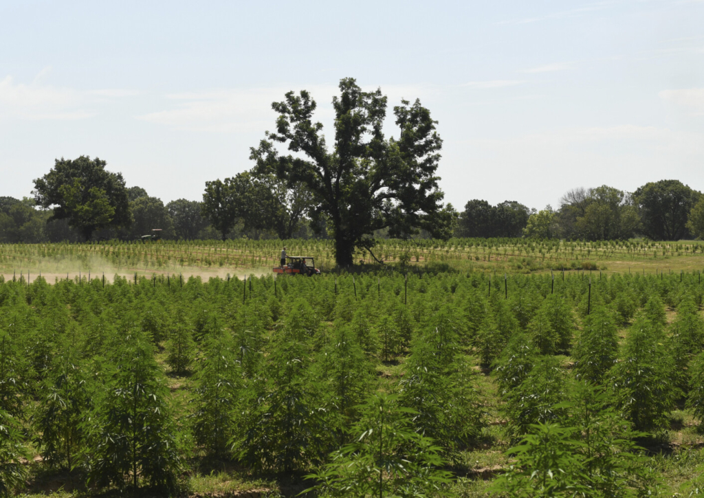 Crews head back to work, after a lunch break, in the fields at Tribe Collective on July 27, in Okemah, Okla. Droves of Colorado entrepreneurs are buying large swaths of land in Oklahoma to grow marijuana for The Sooner State's recently legalized medical marijuana industry. (RJ Sangosti/The Denver Post via AP)
