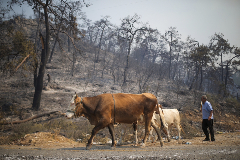 A man guides his cows away from an advancing fire on Monday in Mugla, Turkey. For the sixth straight day, Turkish firefighters were battling to control the blazes tearing through forests near Turkey's beach destinations.