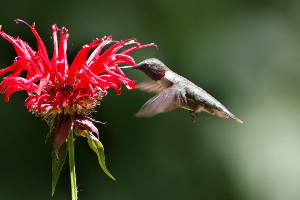 Scarlet bee balm, a hummingbird favorite, is among the non-native species that Maine Audubon sold this year.