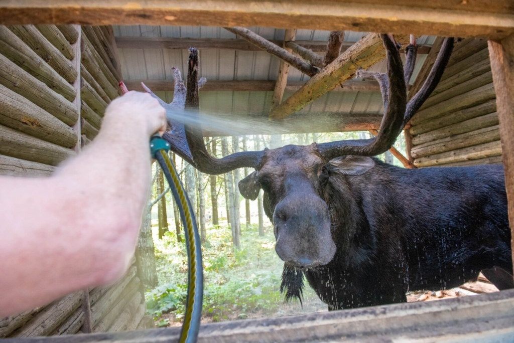 Byron the Maine Wildlife Park resident moose enjoys a cooling hose-off on Tuesday in his shelter at the park in Gray. Byron uses the shelter to get out of the sun and cool off. Moose begin trying to cool off whenever the outdoor temperature rises above 50 degrees.