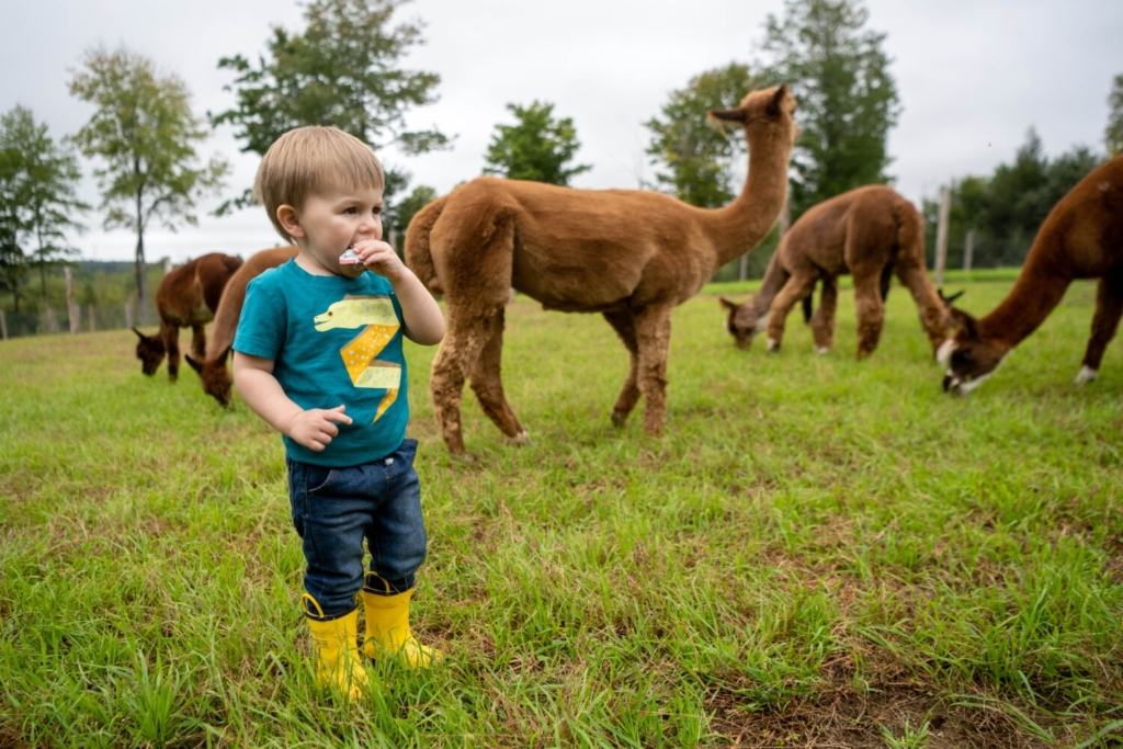 Jack Latourneau, 2, eats a snack among the alpacas Saturday at Northern Solstice Alpaca Farm in Unity. The farm was one of six stops on a passport tour offered in lieu of the canceled Common Ground Country Fair.
