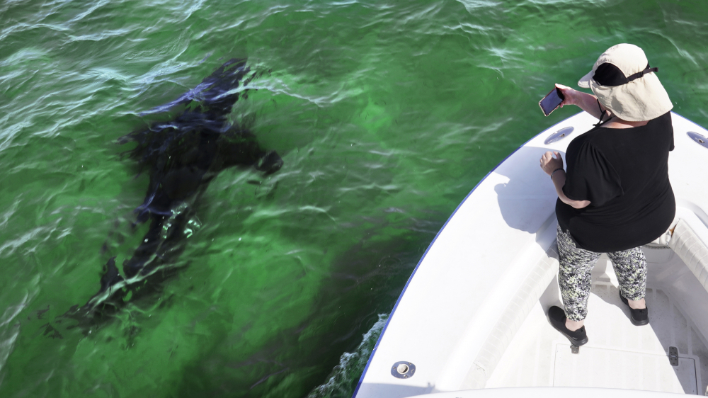 Mindi Moran of Portland, Maine, watches a great white shark swim past while on a shark watch with Dragonfly Sportfishing charters off the Massachusetts' coast of Cape Cod, on Aug. 17.