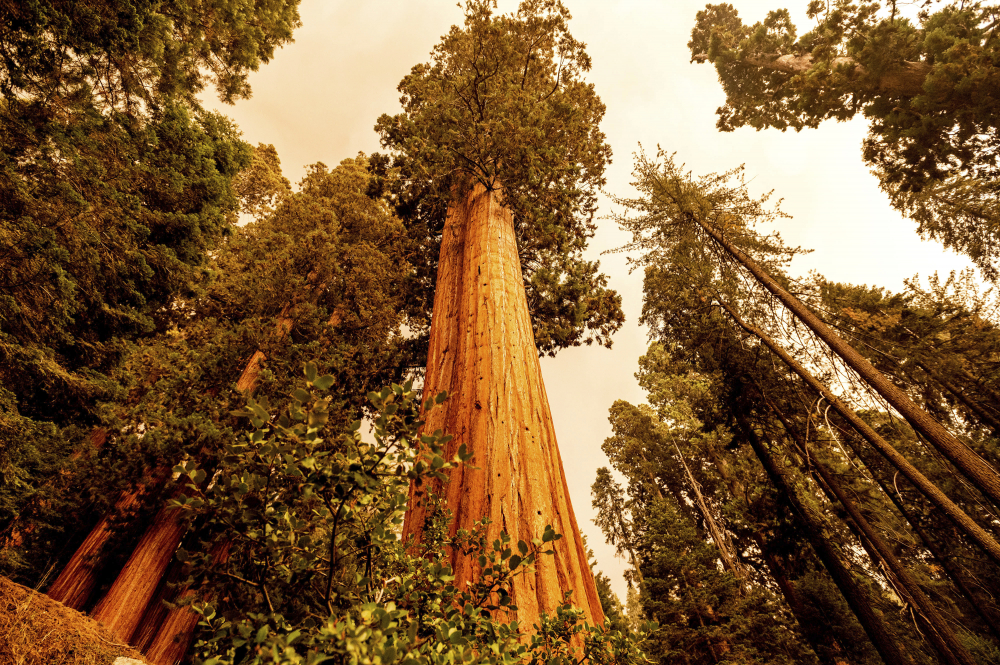 Sequoia trees stand in Lost Grove along Generals Highway as the KNP Complex Fire burns about 15 miles away on Friday in Sequoia National Park, Calif. (AP Photo/Noah Berger)