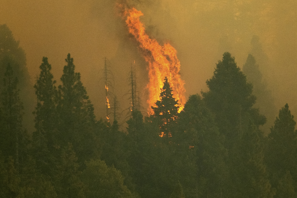 The Windy Fire burns in Sequoia National Forest in California on Thursday. The fire has burned into the Peyrone Sequoia Grove and continues to threaten other sequoias, according to fire officials.