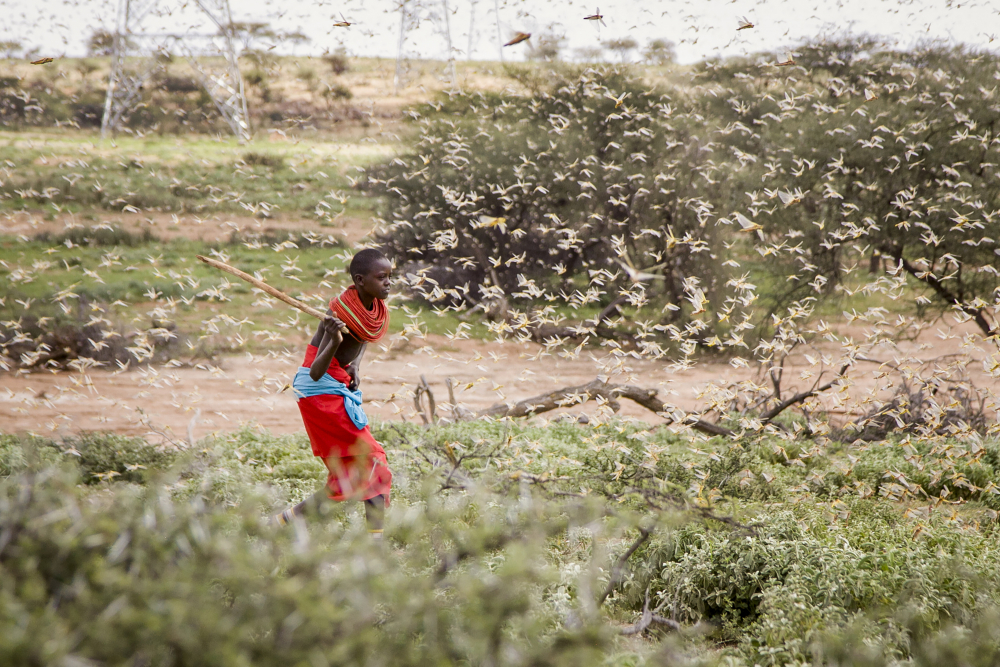 A Samburu boy uses a wooden stick to try to swat a swarm of desert locusts filling the air, as he herds his camel near the village of Sissia, in Samburu county, Kenya in January 2020.