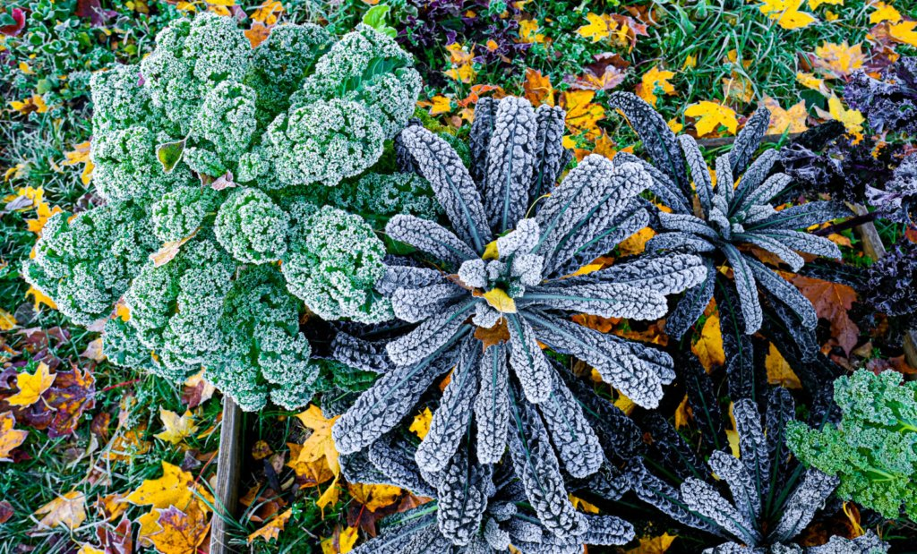Plants such as kale are cold-weather hardy, but first frost will kill more tender vegetables in your garden.