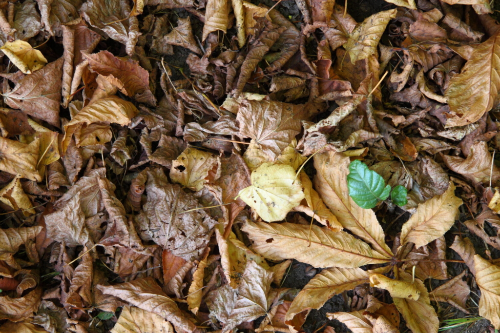 Leaves can be used to cover your garden in winter. Columnist Tom Atwell chops them up first and lets them age/decompose for a season first to make what's known as leaf mold.