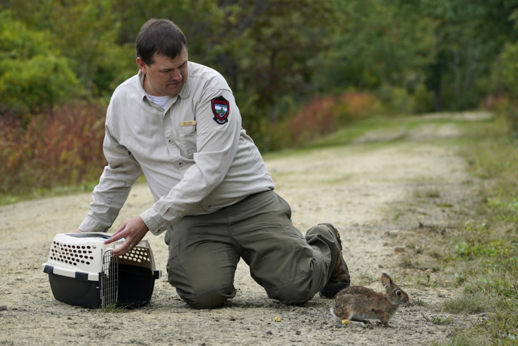 Cory Stearns, a wildlife biologist with the Maine Dept. of Inland Fisheries and Wildlife, releases a New England cottontail rabbit at the Wells National Estuarine Research Reserve, Thursday, Sept. 30, 2021, in Wells, Maine. Maine, New Hampshire and Rhode Island are working to restore the endangered species to its native land. (AP Photo/Robert F. Bukaty)