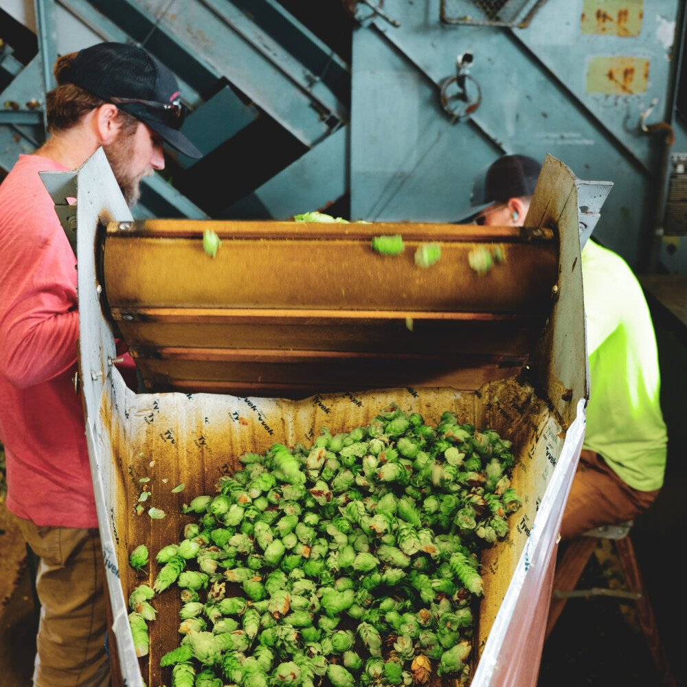 Mast Landing rushes to get fresh hops from The Hop Yard into its beer within an hour of picking them.