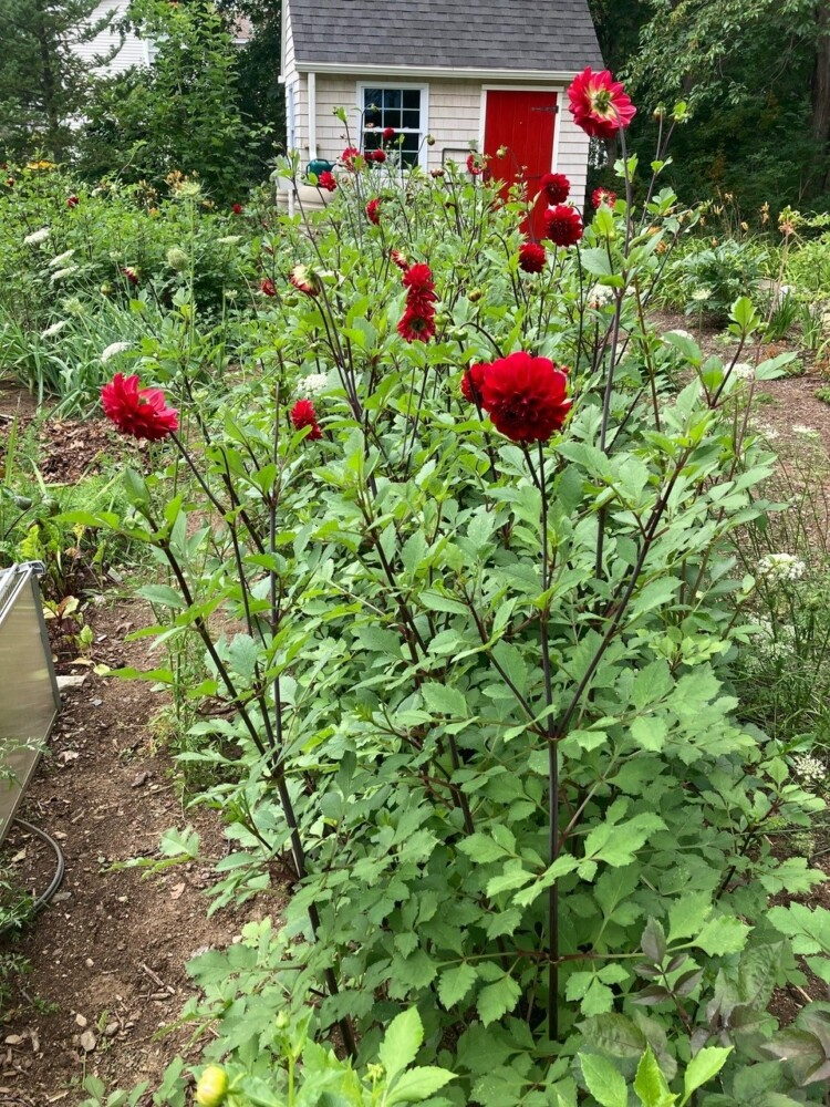Dahlias, like these in columnist Tom Atwell's garden, cannot survive a Maine winter. The tubers must be dug up, stored and replanted the following spring.