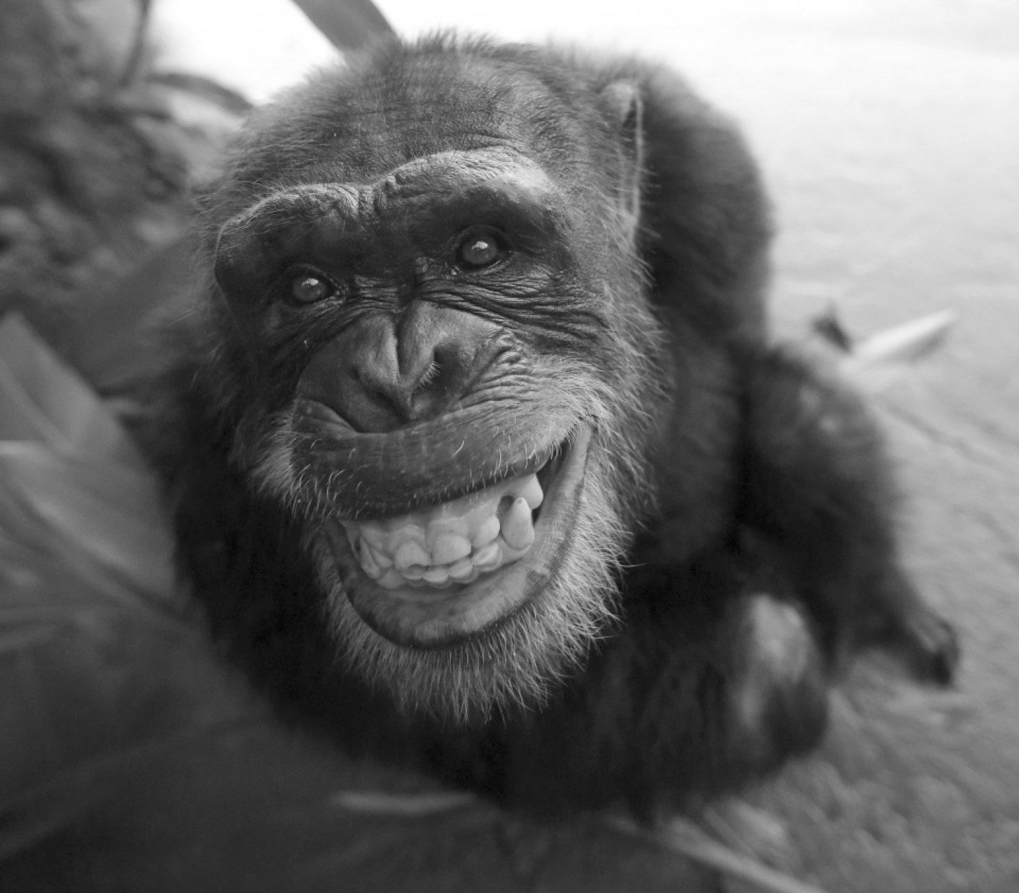 Chimps recognize butts like people recognize faces