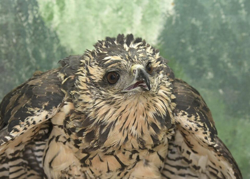 The great black hawk that was found suffering from frostbite in Deering Oaks struggled to recover at a bird sanctuary in Freedom; the raptor had to be put down.
