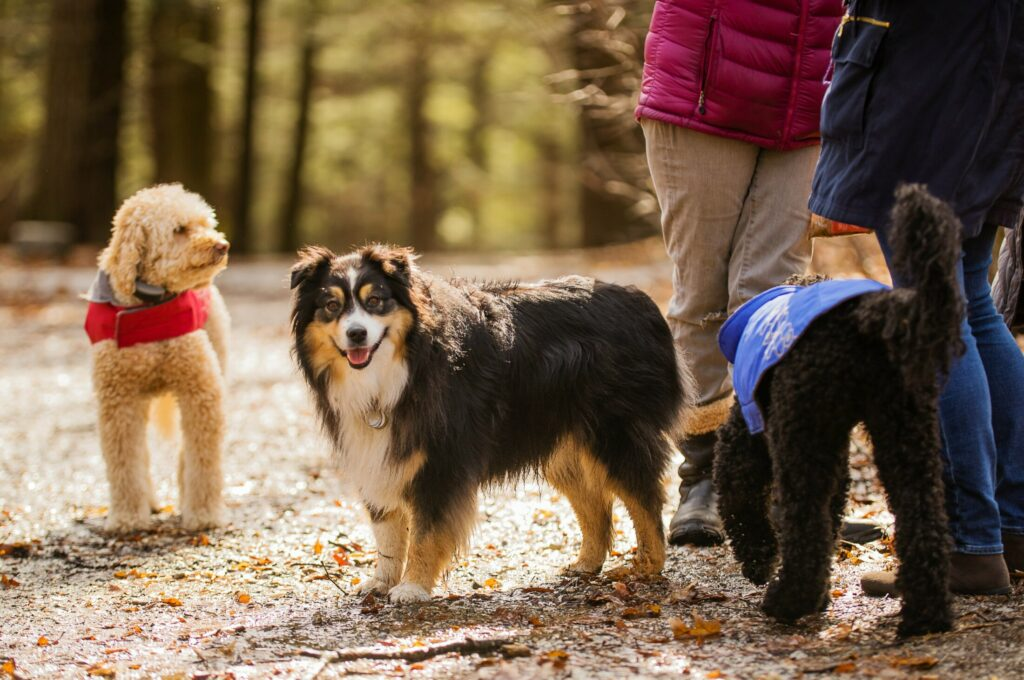 Dogs in Portland's Baxter Woods park, wait leashless, along the trail, as their human companions socialize. Dogs are, at center, Babe, the Australian shepherd companion of Amy Homans, and at left and right, Riley and Obie, labradoodle pets of Jane Wellehan, all of Portland.