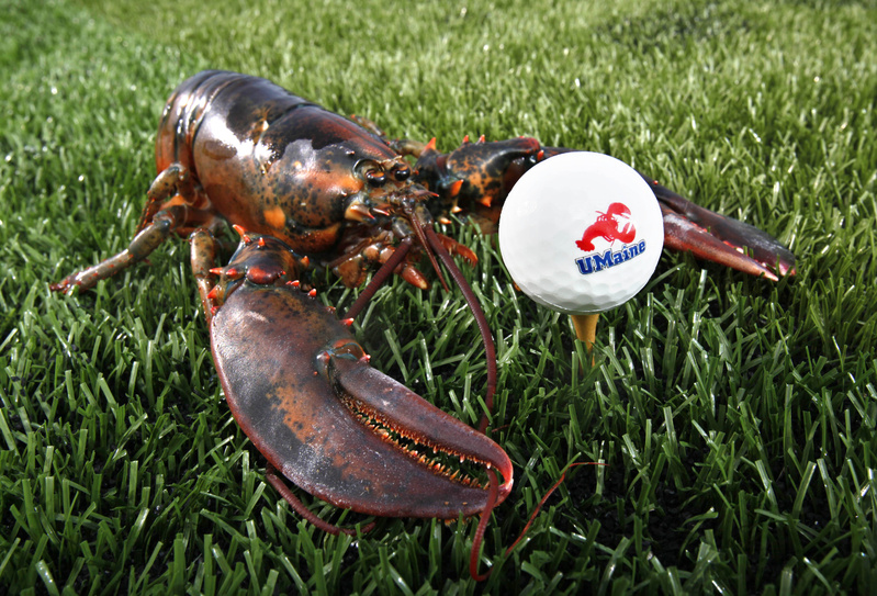 A lobster is posed next to a golf ball made from ground lobster shells in Orono. A University of Maine engineering professor and his students have patented the process used to create the biodegradable balls.
