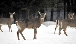 A hungry deer patiently waits for Gordon Berry to deliver the evening meal at the ball fields in West Forks Tuesday evening.