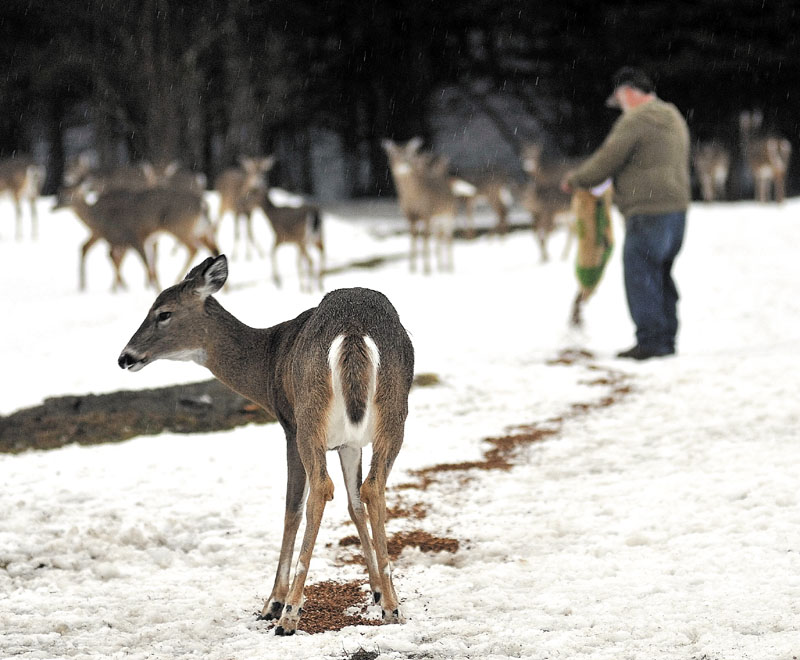 Gordon Berry spreads some grain on the ball fields for a hungry herd of deer in West Forks Tuesday evening.