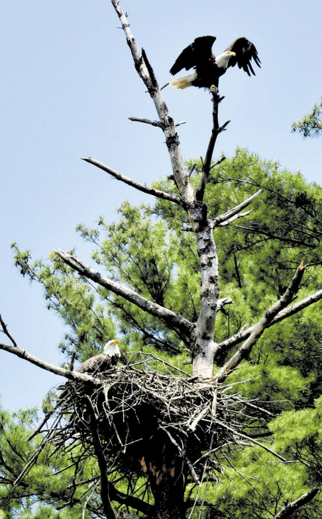 EAGLE ROOST: A pair of American bald eagles are raising a family above Messalonskee Stream in Waterville.