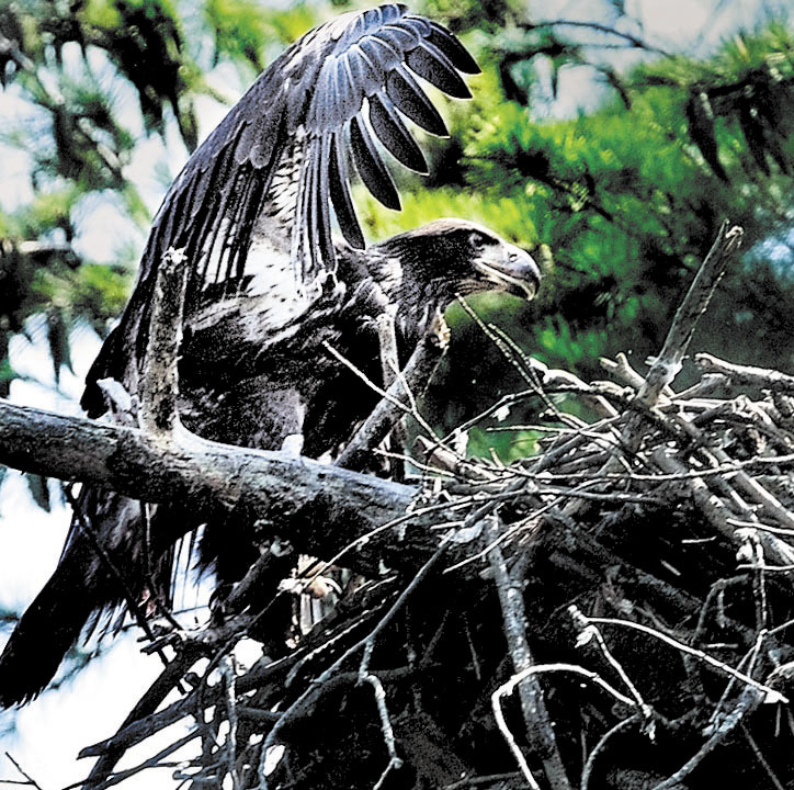 SPREADING OUT: An eaglet born this summer spreads its wings as an adult American bald eagle rips apart a fish it caught and brought up to the nest in a tree overlooking Messalonskee Stream in Waterville.
