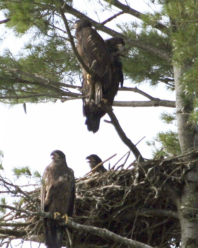 This photo released by the Maine Department of Inland Fisheries & Wildlife shows four bald eaglets in a single nest on Swan Island in the Kennebec River near Richmond, Maine. It is the first documented case of four eaglets in the same nest in the state's history. (