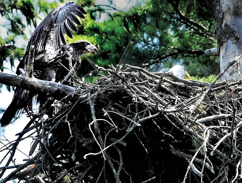 SPREADING OUT: Even after an eaglet born this summer takes its first flight, it won't leave the nest permanently until September, according to a wildlife biologist.