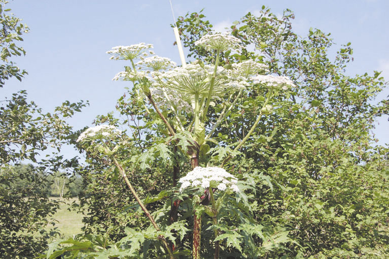 GROWING THREAT: Giant hogweed sites have been confirmed in Maine, including one in Windham.
