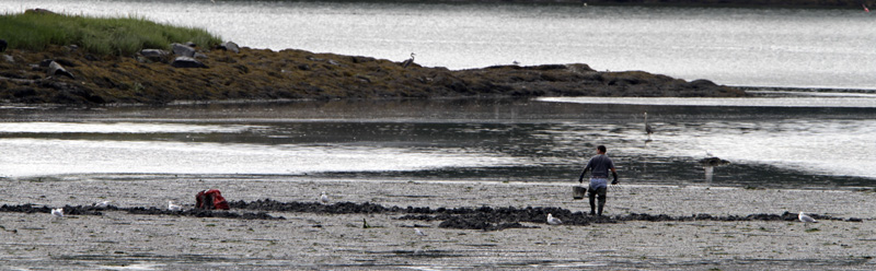 A clammer makes his way across the mudflats in Brunswick today. For the second year in a row, red tide has been at an all time low.
