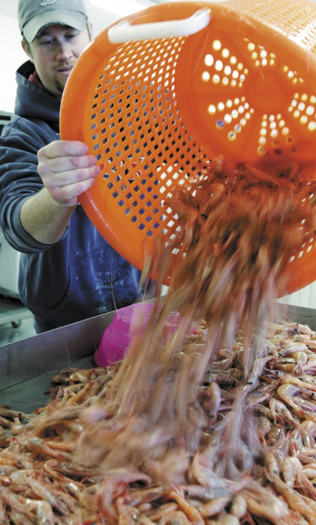In this February photo, freshly caught shrimp are poured onto a processing table by plant manager Nat Winchenbach at the Port Clyde Fresh Catch facility in Port Clyde. The last noteworthy commercial fishery with open access in the Northeast could soon be closed to new participants as regulators look at new ways to manage the small, sweet shrimp that are caught in the Gulf of Maine each winter.