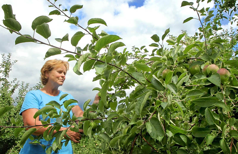 Jean Simpson inspects a McIntosh apple tree for damage following Tuesday's storm at her orchard on Morrison Hill Road in West Farmington. Simpson has operated the orchard with her husband, Jerry, for 28 years. A hailstorm in June damaged some of their apples.