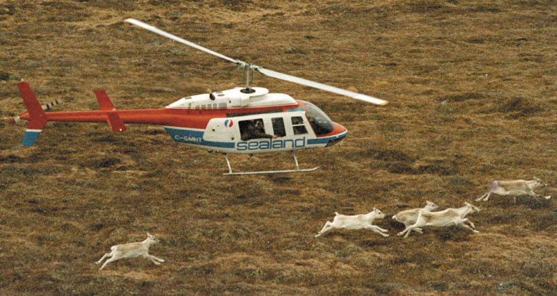 """CARIBOU PROJECT: In this 1986 photo, a helicopter carrying a Canadian wildlife official chases caribou along Newfoundland's Avalon Peninsula in an attempt to shoot one with a tranquilizer gun for relocation to Maine. Twenty-five years after the caribou transplant project, former Maine fish and game spokesman Paul Fournier has written a book of his memoirs, """"Tales from Misery Ridge."""" Transportation Propeller Motion"""